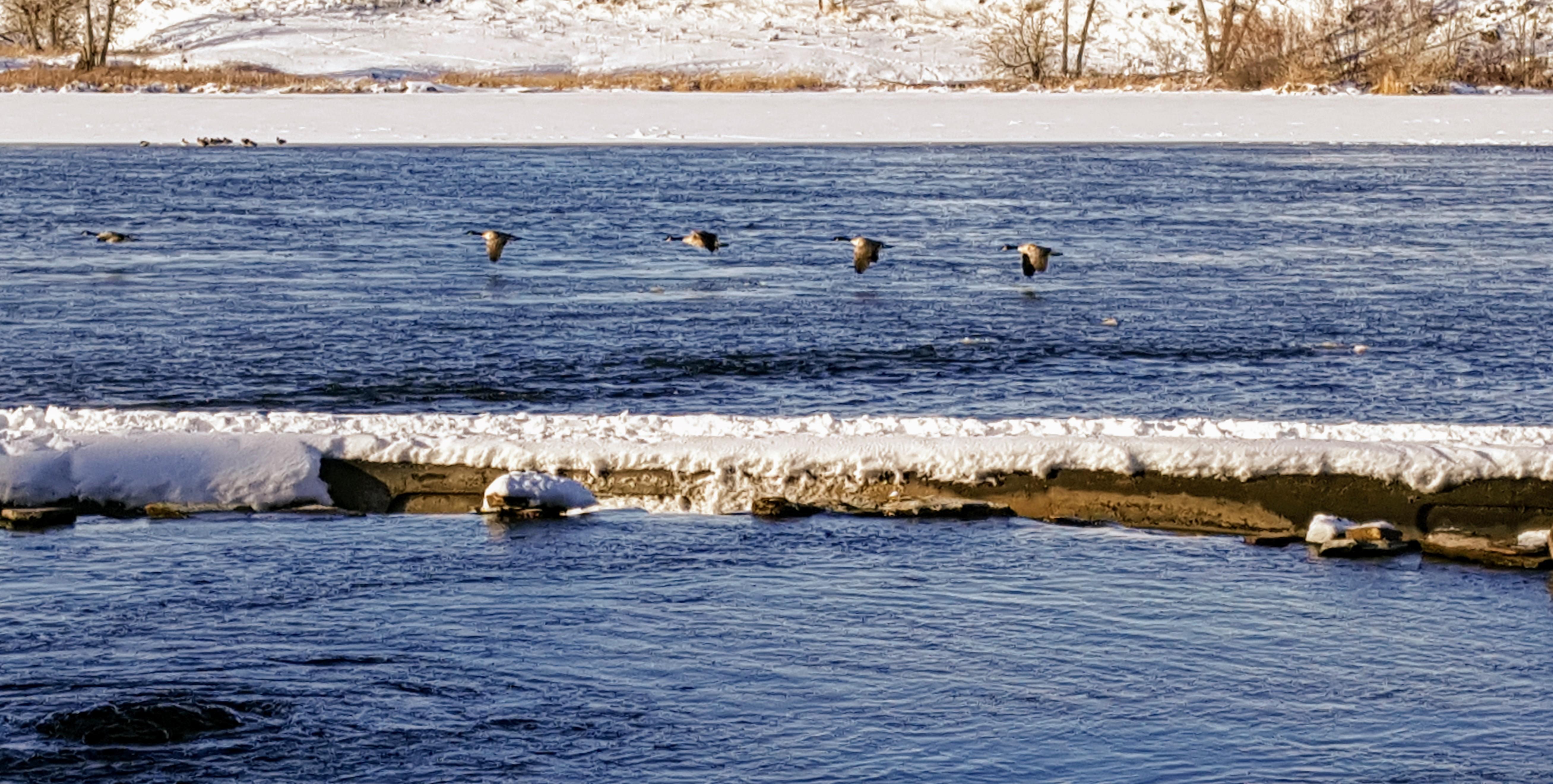 Giant Springs geese