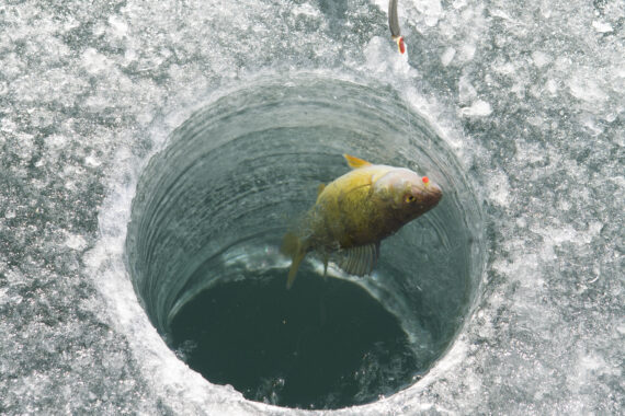 Just being pulled through the ice, a yellow perch (Perca flavescens) fell for a maggot and jig at Pishkun Reservoir, MT.
