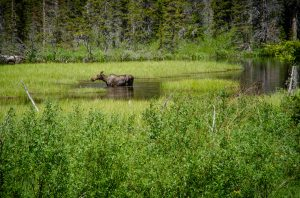 moose in two medicine lake glacier national park
