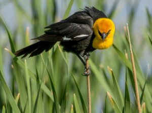 Birding in Great Falls Montana