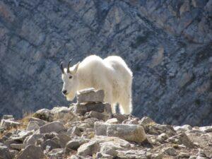 Rocky Mountain Front Mountain Goat